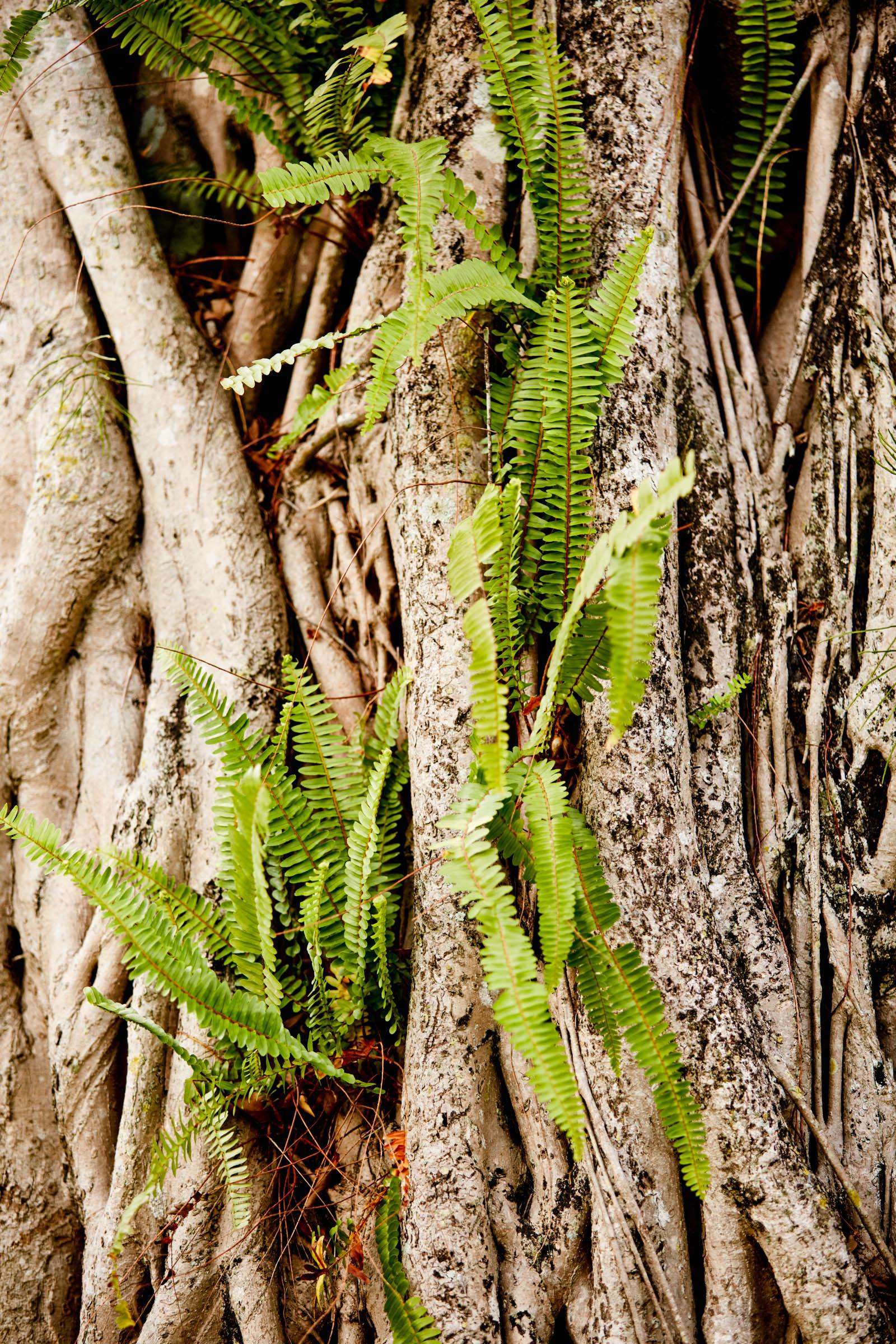 banyan tree in southern Florida