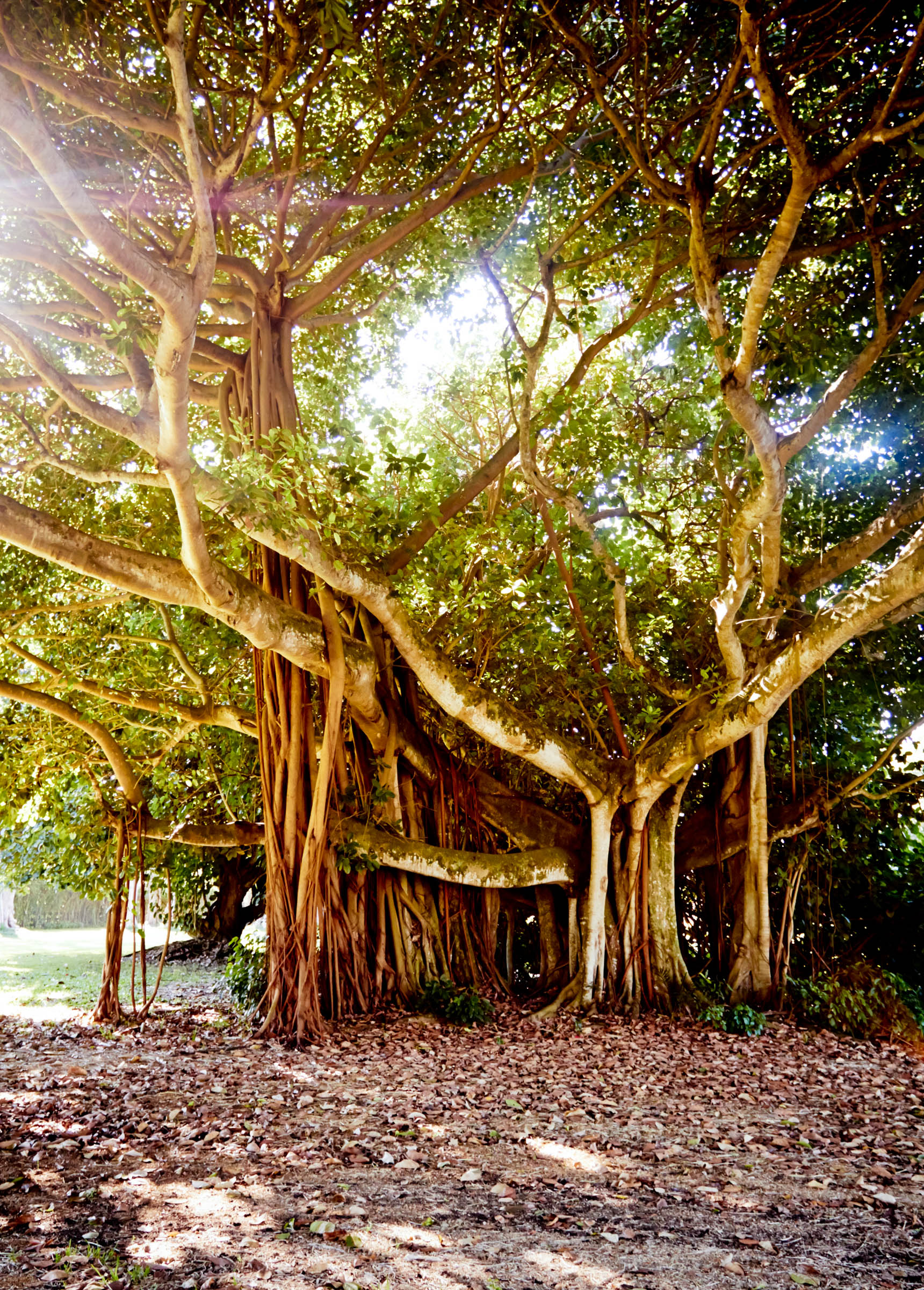 banyan tree in southern Florida