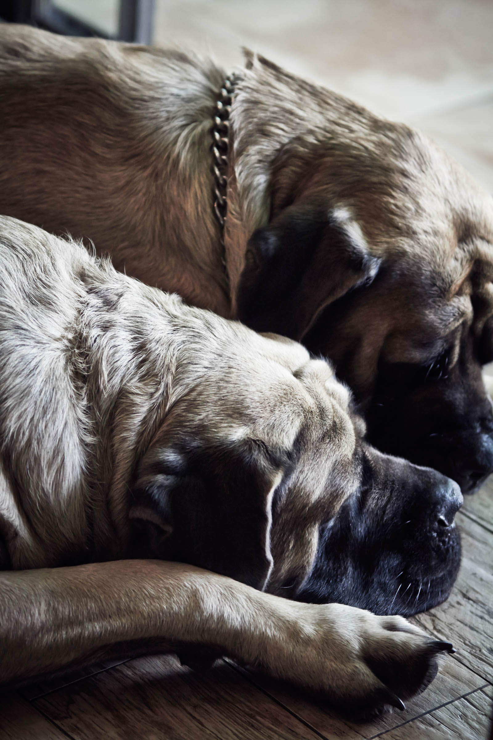 Lucky an Lulu the mastiffs