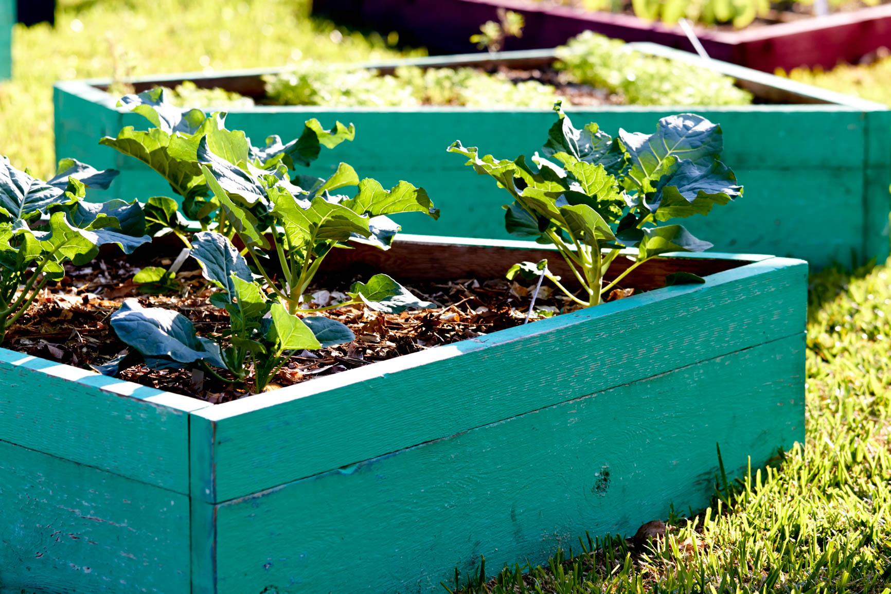 growing kale in the garden