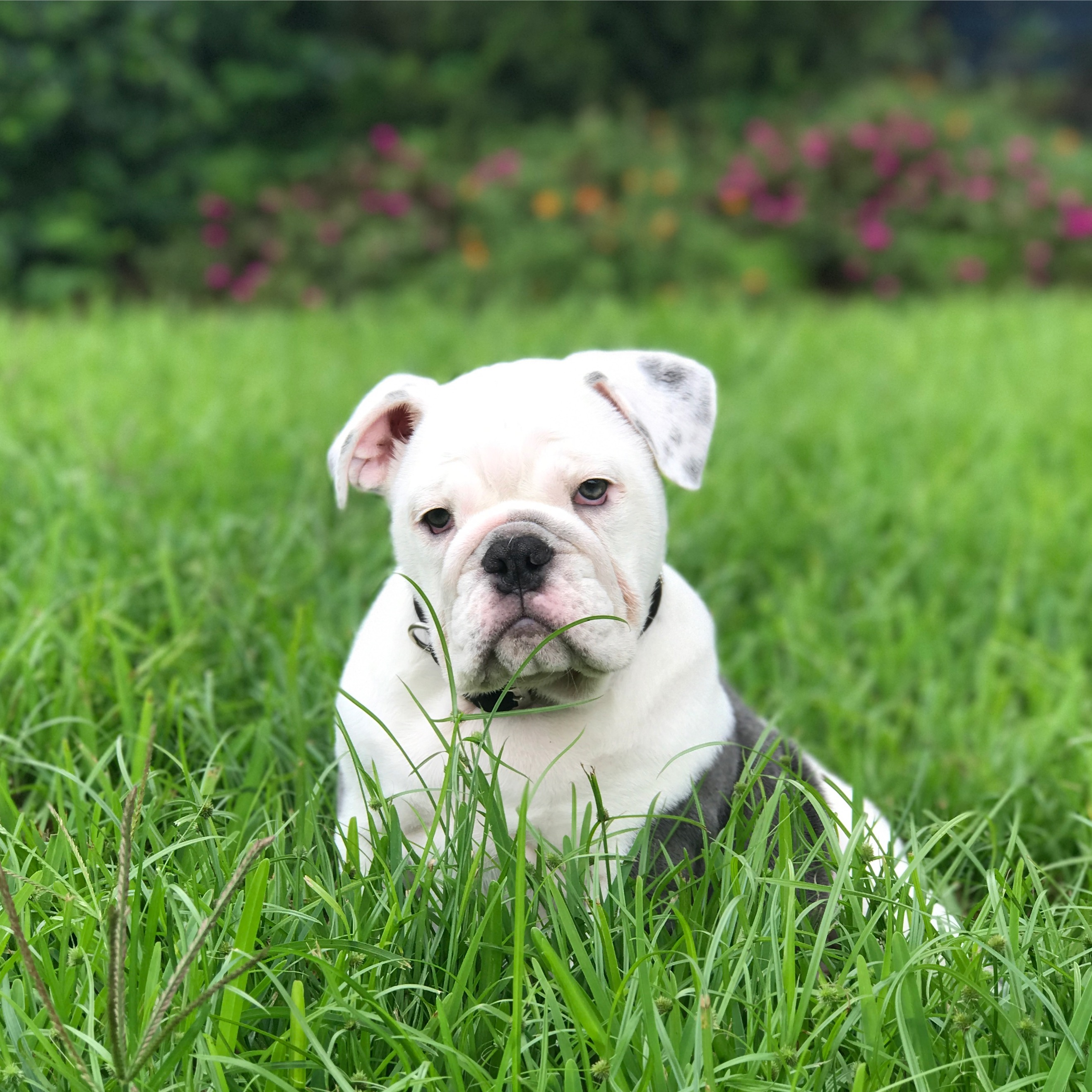 pepper the bulldog